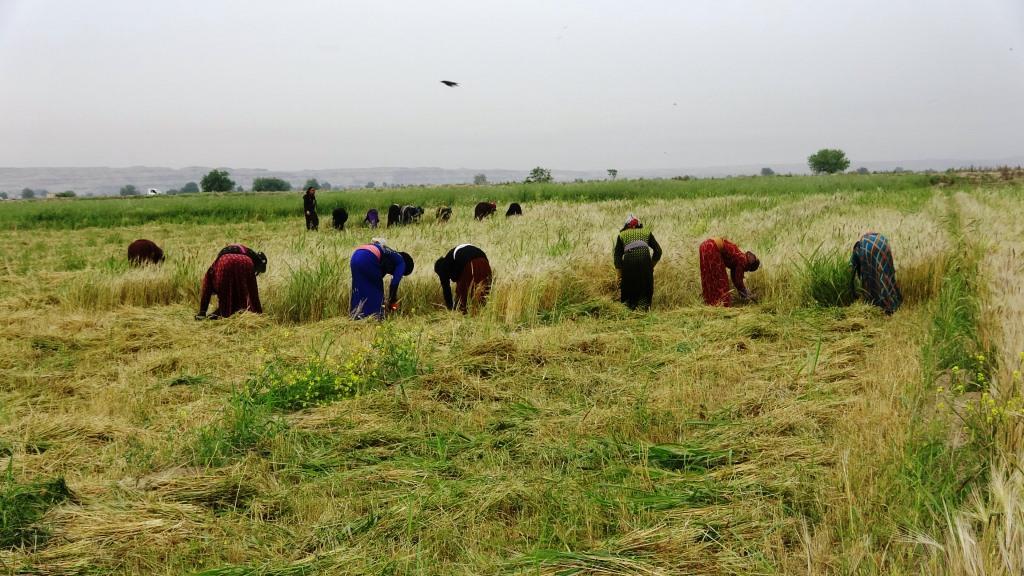 بدء حصاد الشعير والقمح في الرقة