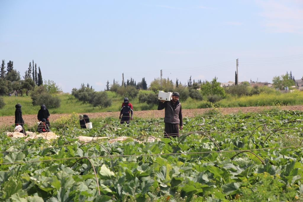 بدء تسويق محصول الكوسا في منبج