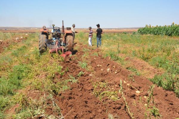 الأهالي يجنون ثمار البطاطا التي زرعوها لأول مرة في كوباني
