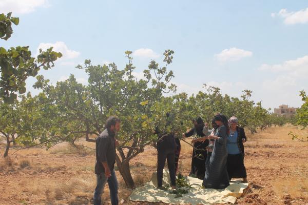 مزارعو الشهباء يبدؤون بجني محصول الفستق الحلبي