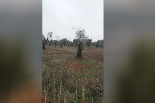 انتهاكاتٌ جديدةٌ في عفرين... قطع المزيد من الأشجار وفرض ضرائب باهظة على المَحلّات والصّيدليّات