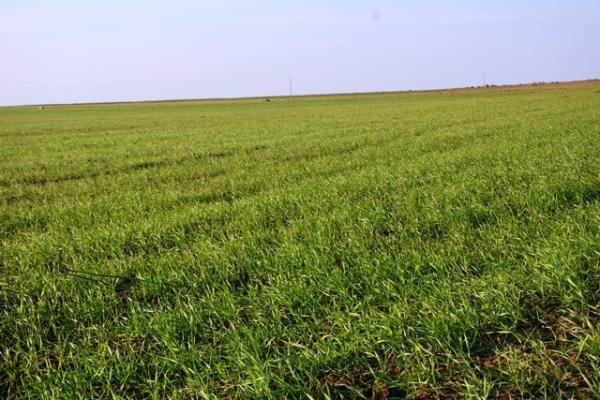 تراجع في زراعة البقوليات بتربه سبيه ودودة زايروس تهدد المحصول