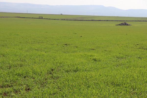 زراعة ديرك: المحاصيل الزراعية لم تتضرر جراء موجة الصقيع والأسمدة متوفرة