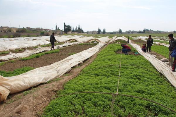 مزارعو منبج يبدؤون بغرس شتول الخضروات الصيفية