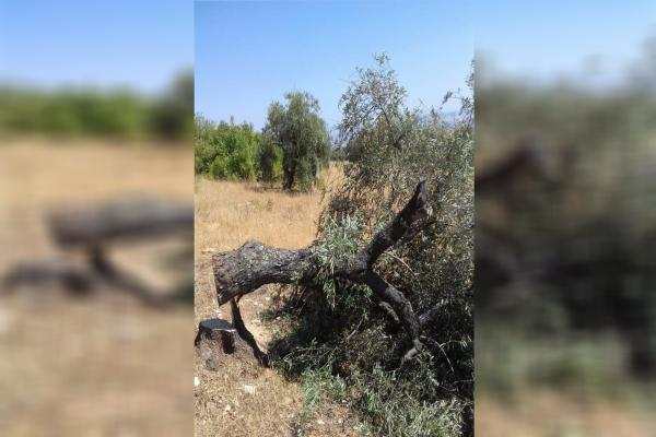 Turkey's mercenaries cut olive trees of Afrin