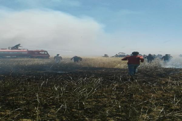 420 dunums of barley and wheat crops were burnt in Tel Barak