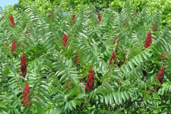 Occupation, its mercenaries steal sumac season in occupied Afrin