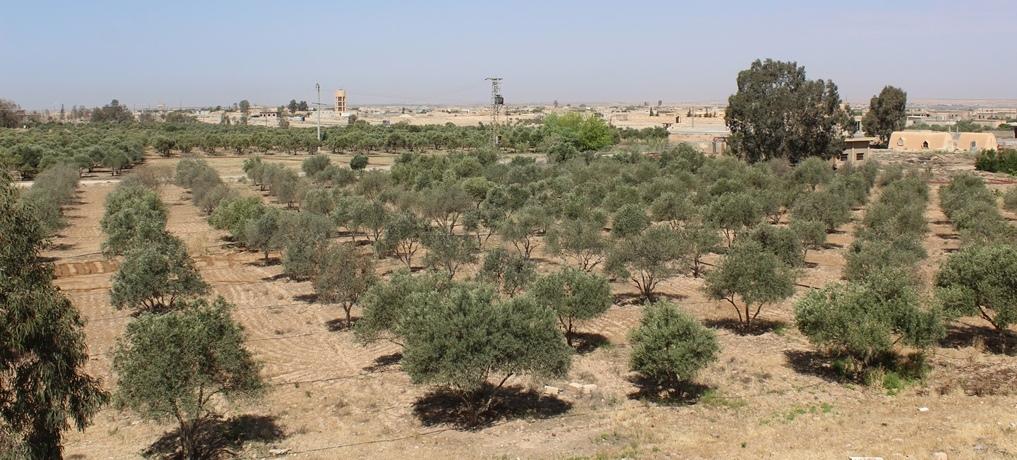 Dirección de Agricultura de al-Tabqa ahorra más de 22 mil árboles